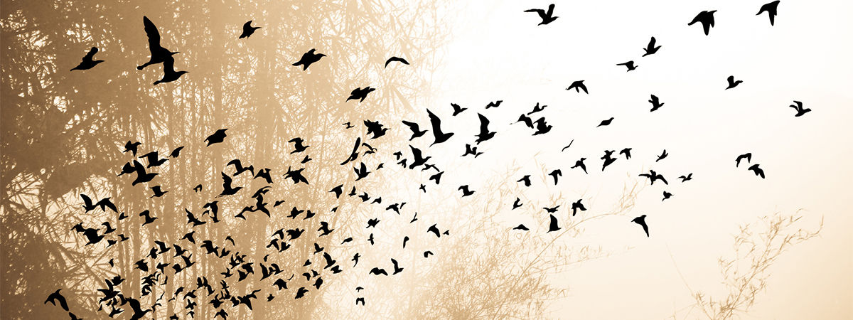 Flock of blackbirds taking flight
